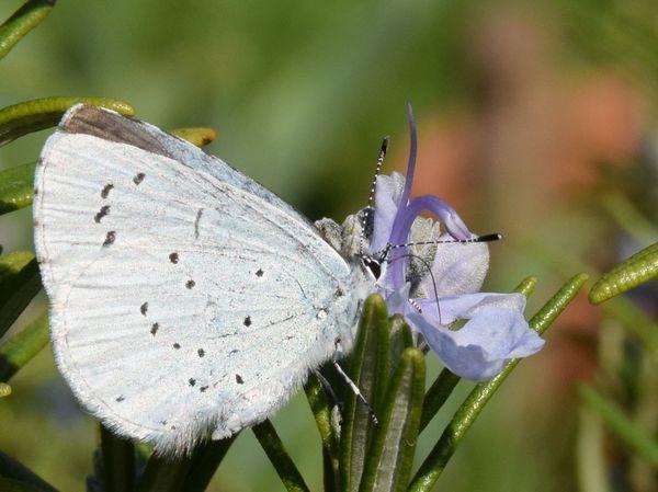 l 39 azur du nerprun un papillon bleu appr ci des fourmis au jardin des quatre moineaux. Black Bedroom Furniture Sets. Home Design Ideas