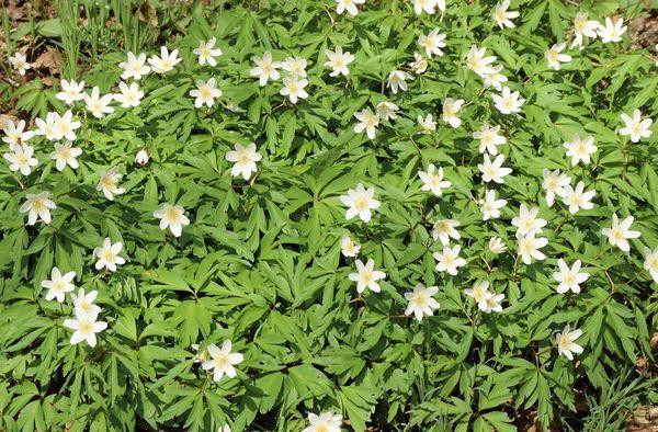 L'anémone des bois, spontanée elle aussi est en pleine floraison. Elle préfère les sous-bois clairs