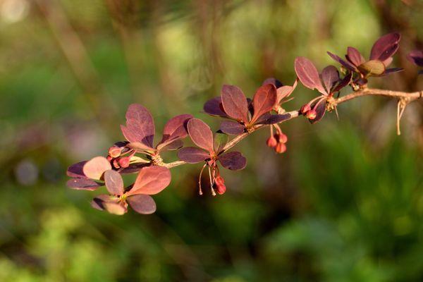 """L'épine vinette : il faut goûter ses feuilles pour se rendre compte qu'elles ont un goût... d'oseille. Autrefois """"vinette"""" était un synonyme d'oseille."""