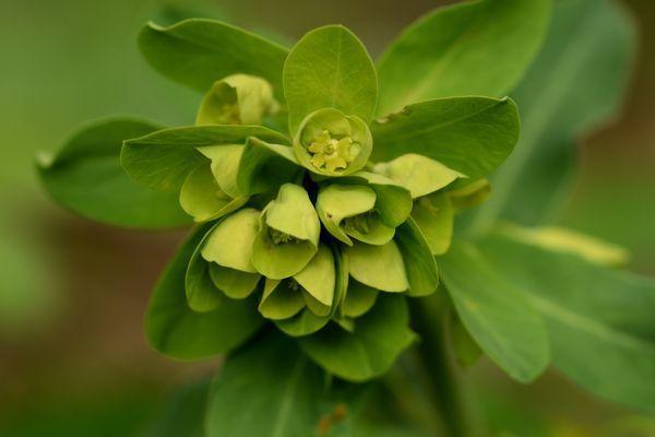 C'est le moment des euphorbes : celle-ci est spontannée, c'est l'euphorbe des bois. ça vaut le peine de se pencher un peu pour admirer sa fleur aux jolies teintes chartreuse.