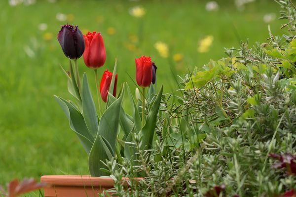 Quelques pots de tulipes rappellent que nous sommes au printemps