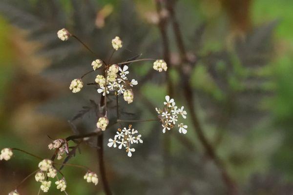 """La belle Anthriscus sylvestris 'Raven's wing', une """"carotte"""" au feuillage pourpre est en fleur. J'aimerait qu'elle se ressème pour constituer une touffe plus étoffée... Patience !"""