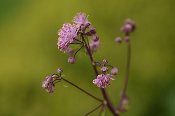 Voici les premières fleurs de Thalictrum : je les adore
