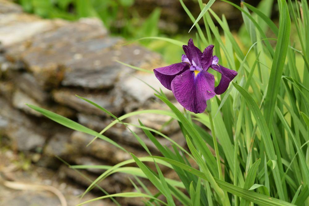 """Le premier iris ensata """"exception"""" s'est ouvert une semaine plus tôt que l'année dernière."""