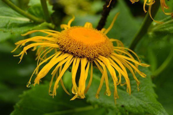 Les télékias sont des plantes increvables dont les fleurs résistent à tout et sont mellifères. Bon, elles manquent un peu d'élégance.