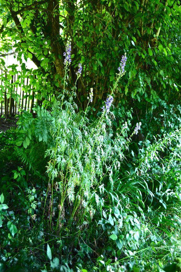 PLant d'aconit au jardin des quatre moineaux