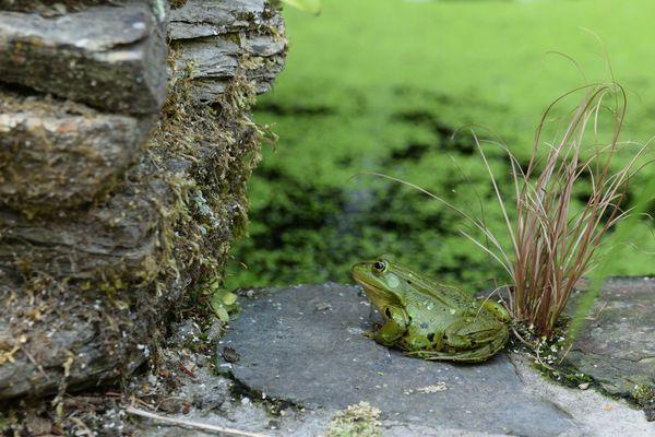 Allez, il est temps de rentrer manger une petite tartine. Mais je prends encore quelques minutes pour observer une grenouille ... au pied du mur. Va-t-elle l'escalader ? Je ne le saurai jamais car elle a eu peur de moi est a sauté dans l'eau.