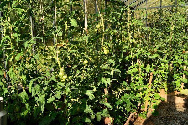 Ensuite, je vais ouvrir la porte de la serre et jeter un œil à mes tomates : il y en a beaucoup, elles sont déjà bien grosses mais elles tardent à mûrir... Patience ! ce ne sont pas les légumes qui manquent en cette saison.