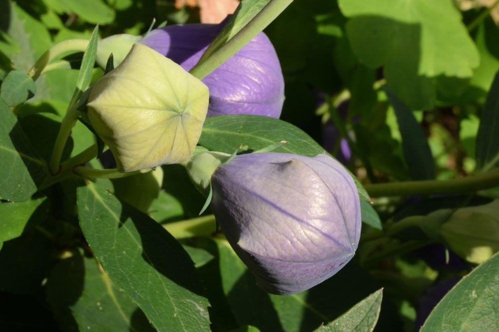 D'abord un petit ballon vert, la fleur prend peu à peu de la couleur puis éclate en une étoile parfaite.
