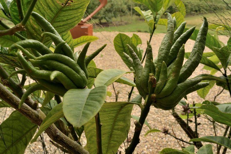 """Sur une esplanade voisine, on trouve une petite collection d'agrumes dont ces """"mains de Bouddha' encore vertes"""