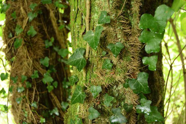 Si les crampons collent à l'écorce, ils ne pénètrent jamais à l'intérieur de l'arbre. Le lierre tire ses ressources de ses racines souterraines et n'affaiblit donc pas son support comme le ferait le gui, par exemple.