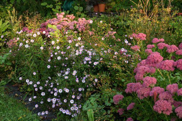 Et puis, bien-sûr, il y a les asters. La luminosité et la légèreté de leurs petites fleurs contraste bien avec les sédums plus sombres et plus massifs.