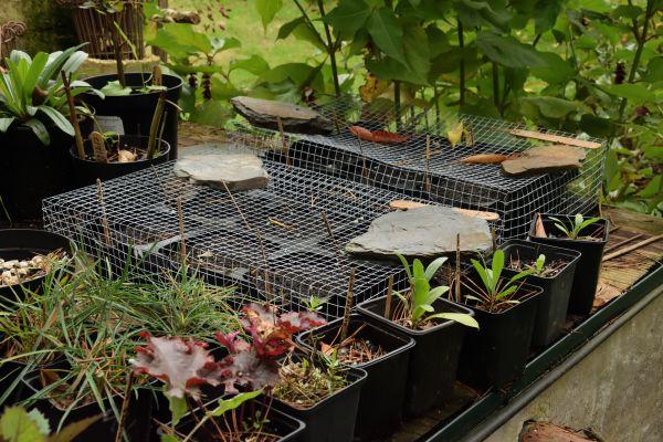 """Ces plateaux, bien protégés contre les rongeurs, resteront dehors quelque temps. Ensuite, ils iront dans la serre lorsque celle-ci se sera vide. Elles profiteront ainsi de la remontée des températures au printemps tout en profitant des effets du gel, souvent indispensable pour lever la """"dormance"""" des graines pendant l'hiver."""