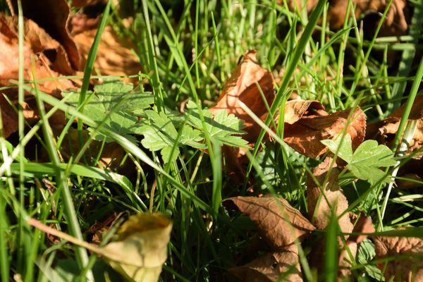 Géranium nodosum : parfait à l'ombre et trop souvent oublié