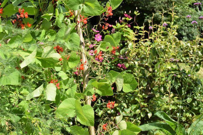 Les fleurs de haricot d'Espagne sont comestibles. Elles ont un goût de...haricot.