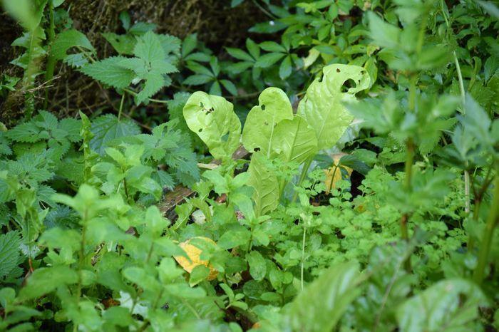 """Les """"bettes à feuilles"""". Il s'agit ici de la dernière survivante d'une jolie récolte : nous avons mangé toutes les autres ! C'est une variété un peu dorée, très jolie."""