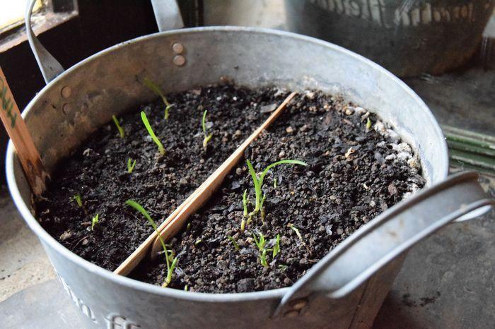 Aujourd'hui 28 novembre : quelques plantules mesurent environ 5 cm alors que certaines graines commencent seulement à germer.