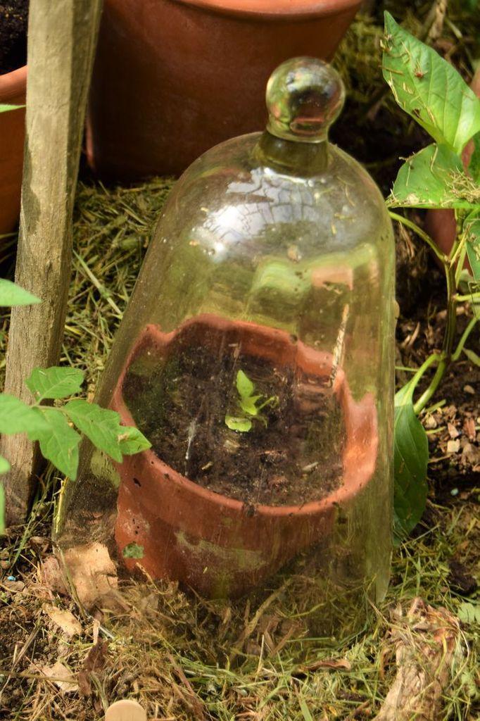 Plant de piment malgache au mois de mai 2017