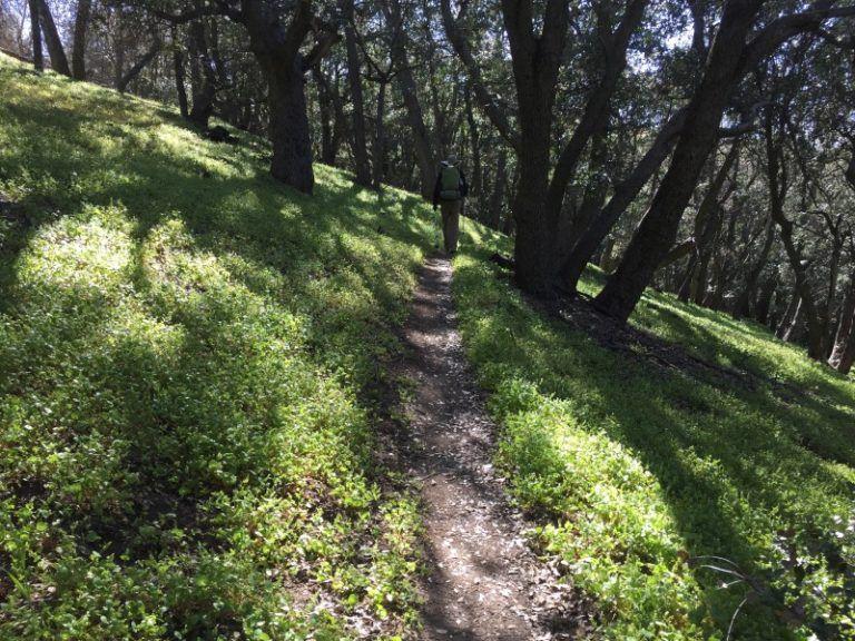 """En Californie, sous ces chênes pousse un tapis de """"miners lettuces"""". Il y a là de quoi éviter le scrobut à bon nombre de mineurs. J'ai emprunté la photo au blog d'un hicker (7)."""