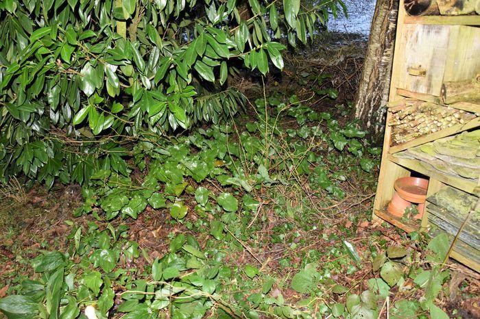 Coincé entre le laurier-cerise, le nichoir à insecte et un tas de branches mortes-refuge, ces quelques boutures d'épimédium plantées l'année passée, commencent à former un tapis qui m'évitera les désherbages difficiles à l'avenir.