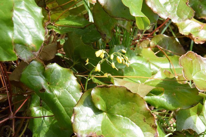 Et voici ce que ça donne lorsqu'on a négligé de couper les feuilles : les fleurs sont quasi-invisibles sous les vieilles feuilles