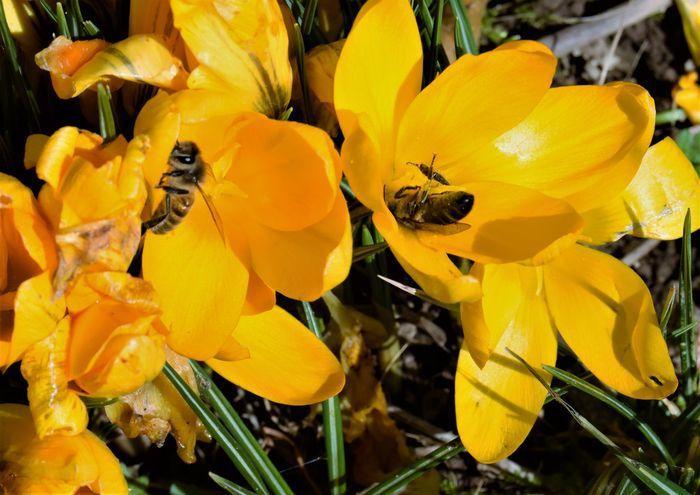 Les crocus qui s'ouvraient tout grands pour attirer les abeilles se sont frileusement refermés.