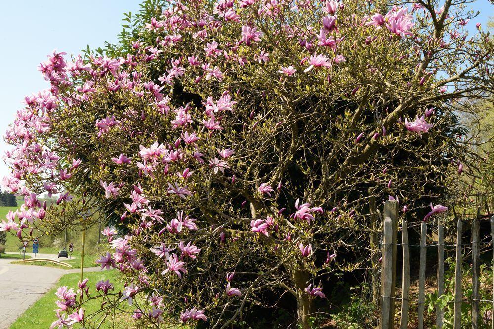 Le long de la route, le magnolia est en fleurs. En général, le gel a déjà roussi une bonne partie des pétales. Cette année, nous jouissons de sa floraison magnifique.