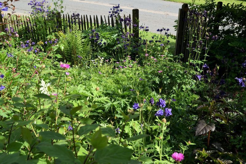 Vous avez remarqué l'abondance des ancolies bleues ? Cette fois, c'est trop ! J'ai décidé de les enlever(après la floraison), pour laisser un peu de place aux autres ancolies blanches, roses ou pourpres qui tendent à disparaitre au profit des envahisseuses bleues.