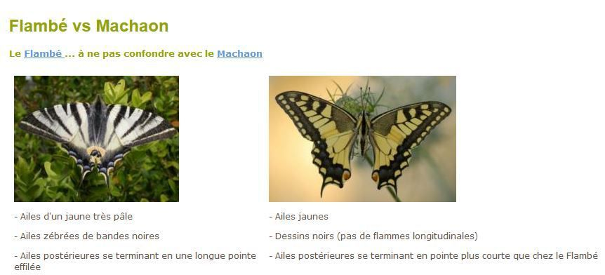 Distinguer le flambé du machaon sur le site biodiversité Wallonie