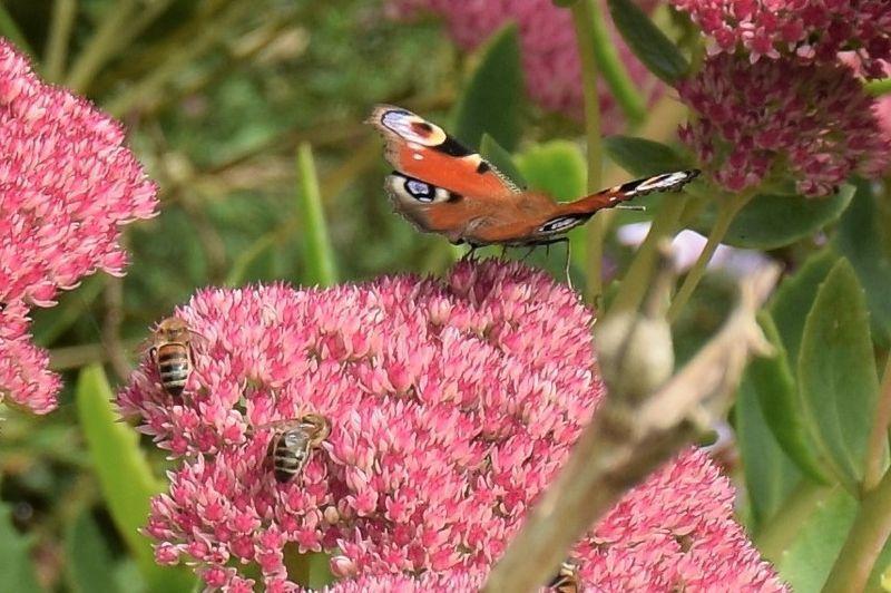 Les papillons et les abeilles les apprécient...