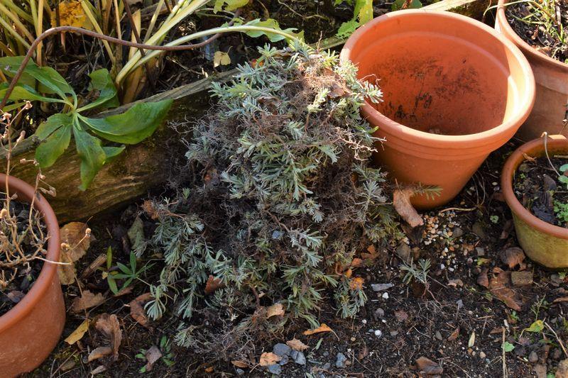 J'ai planté des lavandes partout !