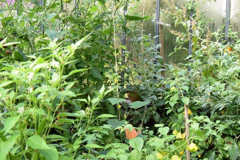 Est-ce que vous repérez l'extravagante ? C'est la tomate au feuillage gris qui s'insinue entre les autres plantes au fond de la serre.
