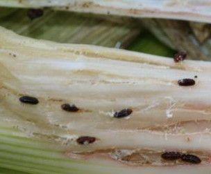 Mineuse du poireau pupes - Semailles