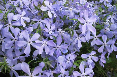 "Phlox divaricata ""Clouds of Perfume"""