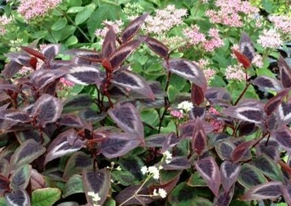 Persicaria 'Dragon's Eye'