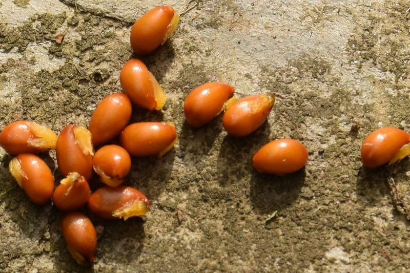 Les petits appendices clairs sur ces graines de jeffersonia sont extrêmement attractifs pour les fourmis.