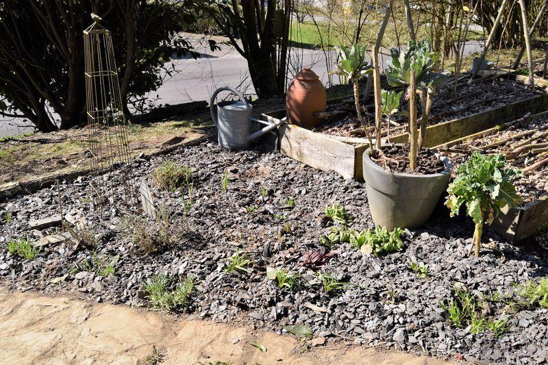 Mon coin d'herbes et de légumes vivaces remis à neuf
