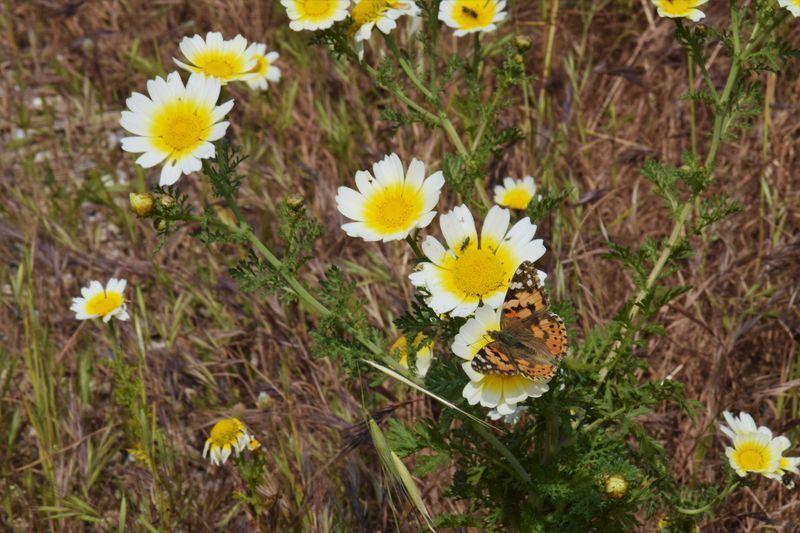 Les remparts de Rhodes garnis de mufliers, de coquelicots et d'autre plantes dont je ne connais pas le nom.