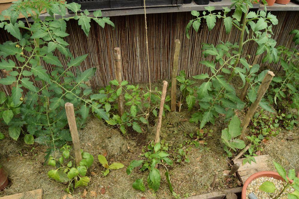 Plant de tomate cassé = plant de tomate foutu ?