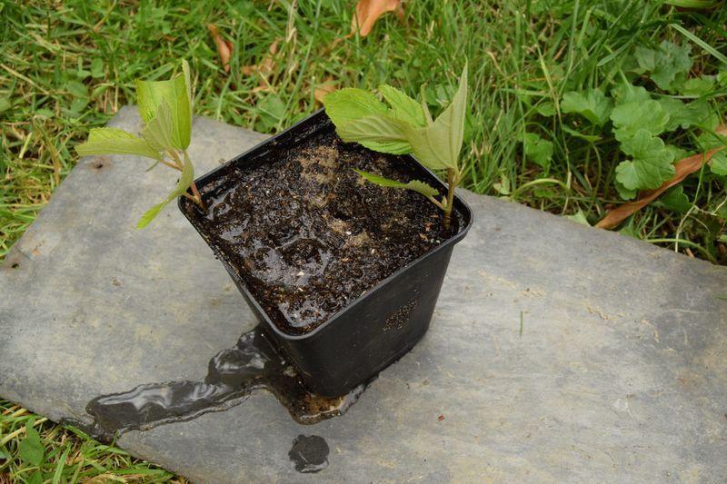 Il ne reste plus qu'à enfoncer les boutures jusqu'aux premières feuilles. Attention de ne pas les enterrer. Pour que la terre adhère bien aux boutures, on peut tasser légèrement et arroser encore une fois.