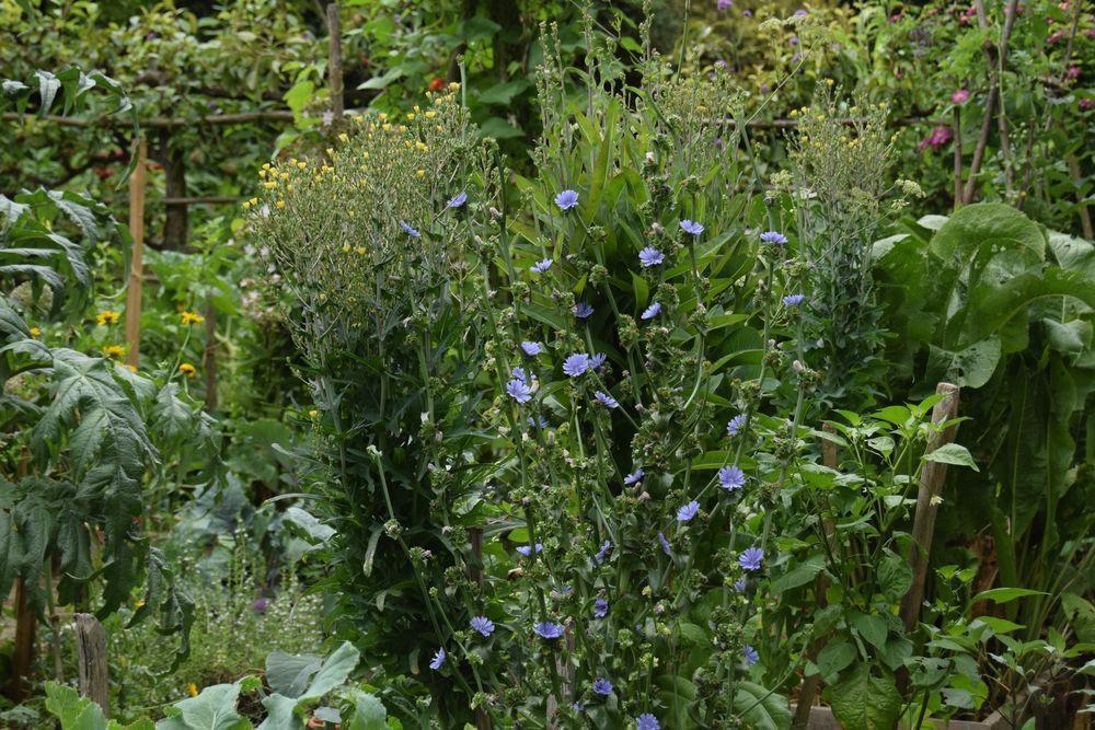 """Fleurs de radiccio et de laitue """"devil's ear"""" dont j'ai reçu les plants de Dominique et que je veux absolument ressemer l'année prochaine."""