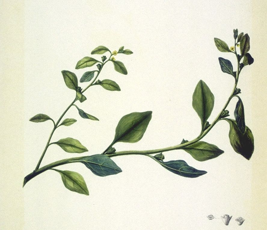 National History Museum, The Endeavour botanical illustrations, Tetragonia tetragonioides