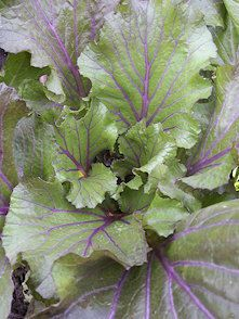 vibrant joy purple pak choi sur le site real seeds