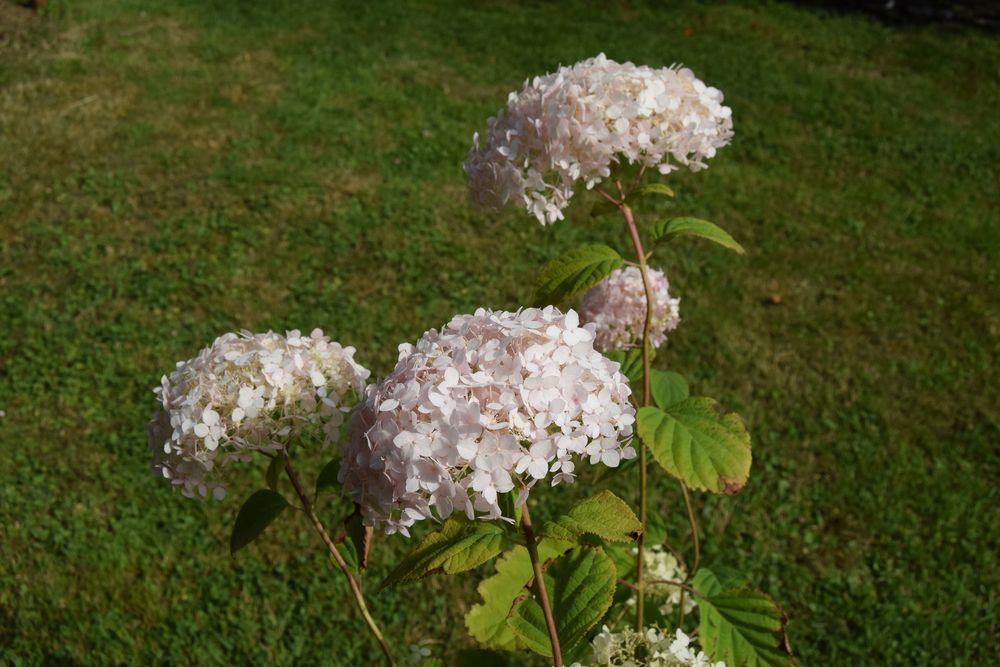 """Journal du jardin, le 11 juillet : plantation de l'Hydrangea arborescens """"marshmallow"""""""