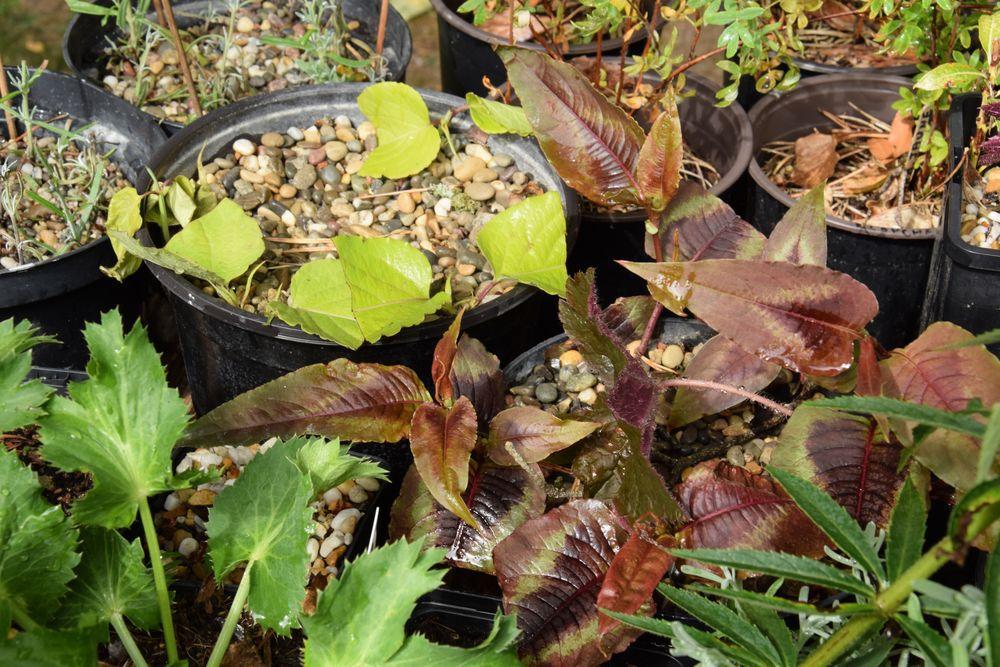 Après trois semaines, les boutures de persicaire poussent bien et celles d'arbre aux faisans font de petites pousses à l'aisselle des feuilles. Mais il faut encore attendre pour être sûre qu'elles s'enracinent.