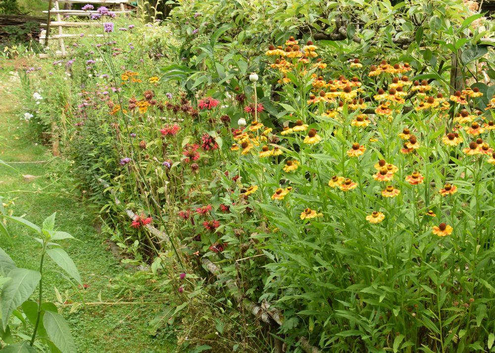 Héléniums jaunes (à l'avant-plan) et monardes rouges.