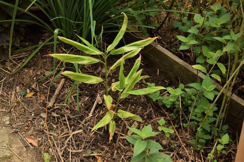 A côté de l'emplacement de la vigne sacrifiée, le gingembre mioga panaché devrait trouver des conditions qui lui conviennent.