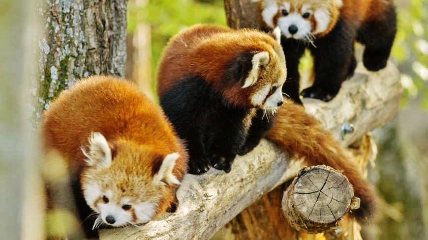Pandas roux - Tous droits réservés
