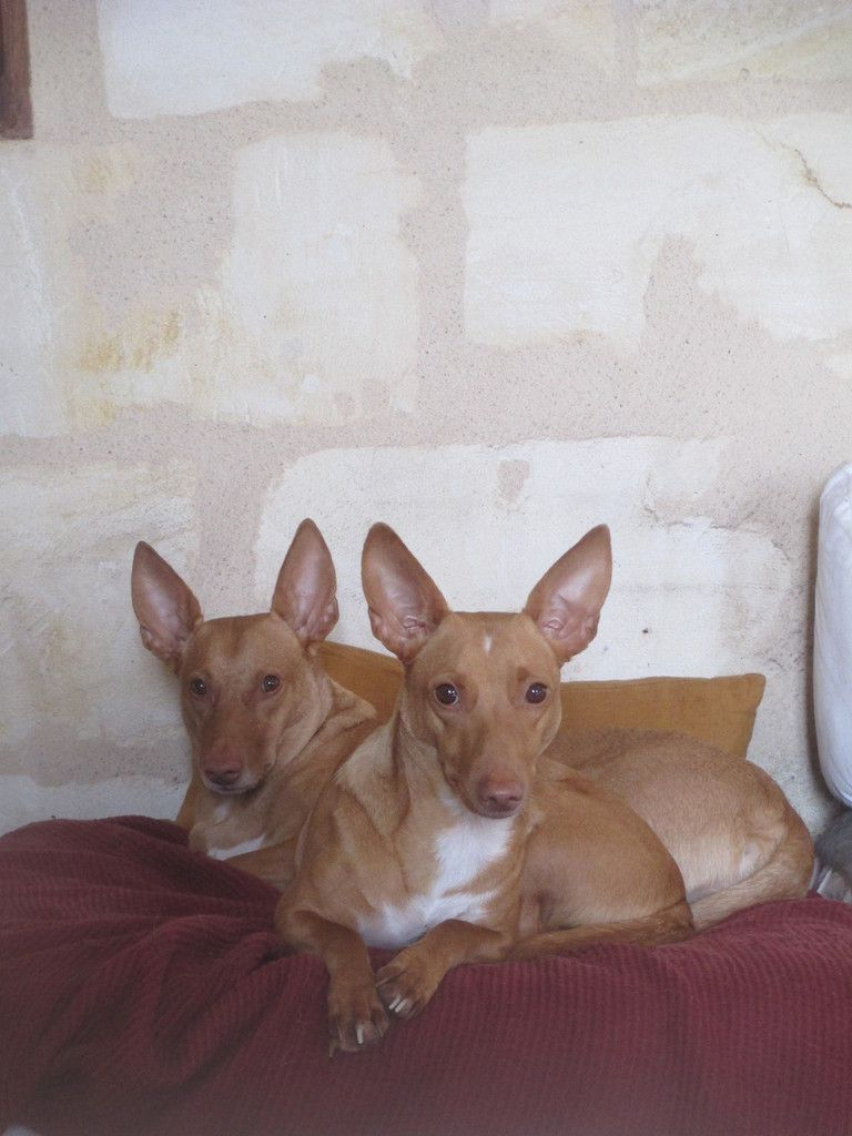 Le podenco maneto