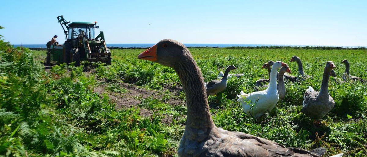 La ferme insulaire de Quéménès : les meilleures pommes de mer de la terre